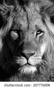 A young male lion portrait in Black and white. South Africa