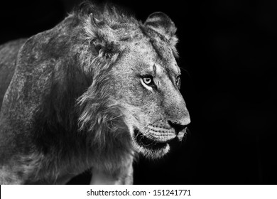Young male Lion portrait, he is one of six male Lions from Rekero Pride in Masai Mara, Kenya