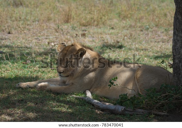Young Male lion relaxing in the shade
