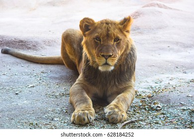 Young male lion resting.