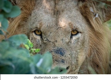 Young male lion with scars on his face peers out of the bush after being awaken from his mid-day nap