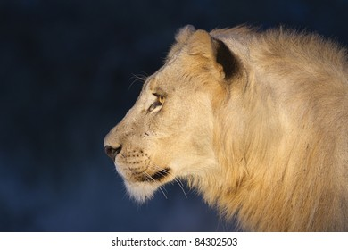 Young male lion shot at night with use of artificial light in Madikwe reserve, South Africa.