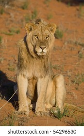 A young male lion sitting upright in beautiful golden light in the kalahari desert