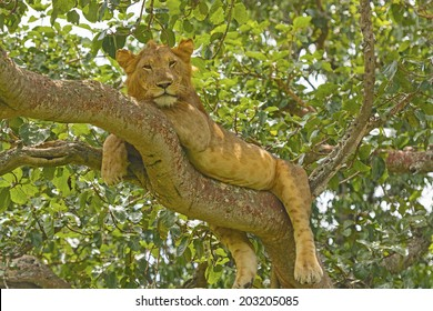 Young Male Lion in a tree in the Ishasha Region of Queen Elizabeth National park