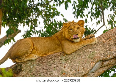 Young Male Lion in a tree in the Ishasha region of Queen Elizabeth National Park in Uganda