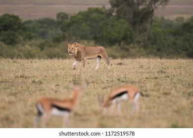 Young male lion walking through a savannah in Masai Mara Game Reserve, Kenya