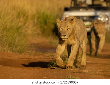 Young male lions walking around and playing
