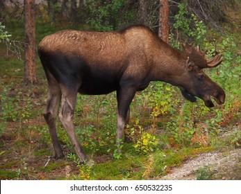 Young male moose, Denali National Park, Alaska