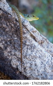 Young male Ocellated lizard (Timon lepidus) in its environment.