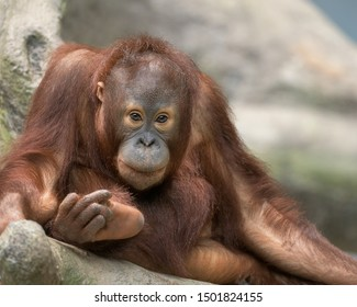 Young male orangutan relaxing on a rock