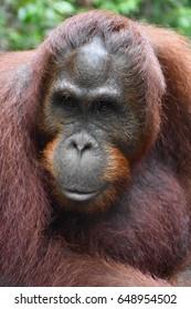 Young male orangutan in Tanjung Puting National Park, Kalimantan, Indonesia (Borneo)