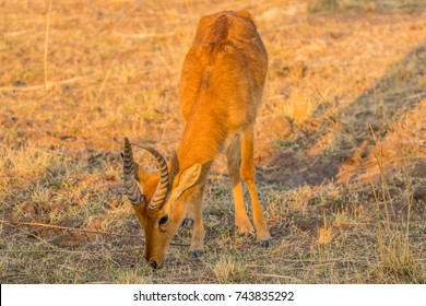 Young male Puku antelope (Kobus vardonii), South Luangwa National Park, Zambia, Africa.