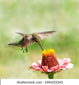 Young male Ruby-throated Hummingbird hovering over a Zinnia flower, getting nectar from it