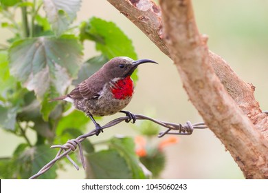 young male Scarlet-chested Sunbird Chalcomitra senegalensis in Entebbe, Uganda