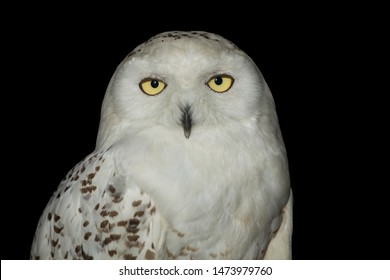young male snowy owl (Bubo scandiacus) on black background