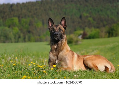 young Malinois Dog 1 year  Belgian Shepherd