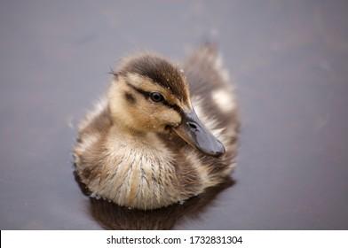 Young mallard duckling (anas platyrhynochos) duckling on pond.