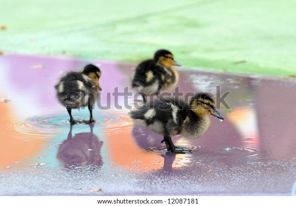 Young Mallard ducklings playing in shallow water