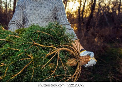 Young man is caryying christmas tree in the wood. men with a beard bears home a Christmas tree. dressed in a sweater