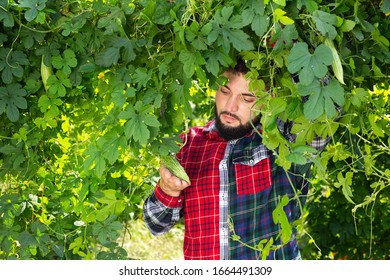 Young man controlling quality of Momordica charantia plants at his organic plantation