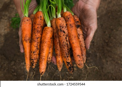 Young man, farmer, worker holding in hands homegrown harvest of fresh orange carrots. Private garden, orchard, natural economy, hobby and leisure concept