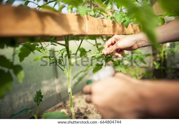 Young Man Hands Spraying Nature Fertilizer Stock Photo (Edit