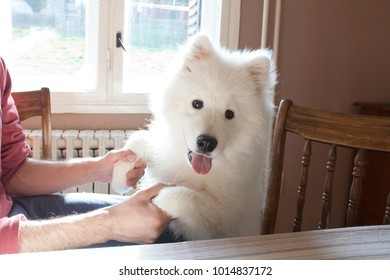young man play with his puppy Samoyed indoor closeup