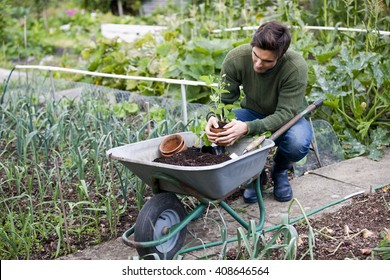 A young man potting strawberry plants on an allotment