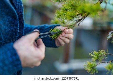 Young man pruning japanese bonsai tree. Bonsai artist