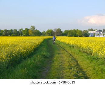 A young man riding bicycle on a dirt road between beautiful canola rapeseed fields