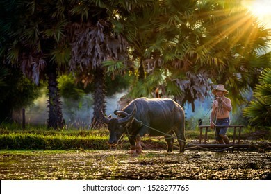 Young man riding a buffalo Plowing before the rice season. Lifestyle of Southeast Asian people at the rice field countryside Sakon Nakhon Province, Thailand.