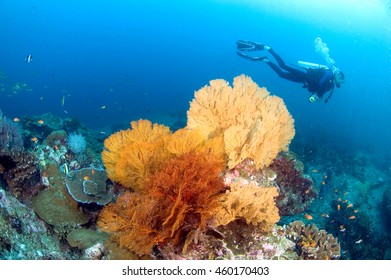 Young man scuba-diver diving near a sea fan on a tropical coral reef in clear underwater world, Similan island, Similan national park, North Andaman, Thailand