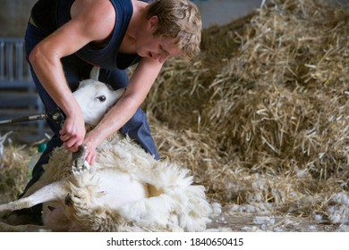 A young man shearing his white sheep's foot for wool.