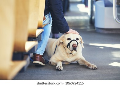 Young man travel with his dog by public transportation. Labrador retriever lying on the floor of the tram.