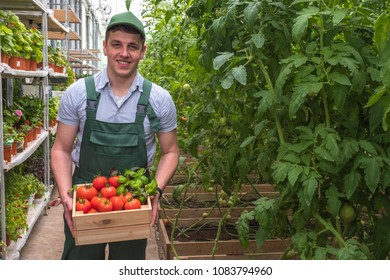 A young man in uniform works in a greenhouse. Fresh vegetables of the season. Tomatoes in a crate.