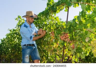 Young man, vine grower, walks through grape vines inspecting the fresh grape crop.