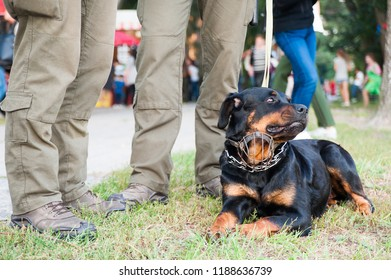 Young man walking with dog,Rottweiler dog near owner