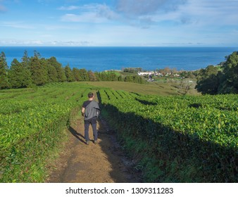 Young man walking on footpath through tea plantation rows with building of Gorreana tea factory Cha Gorreana and ocean on horizon. The oldest, and only, tea plantation in Europe, Sao Miguel island