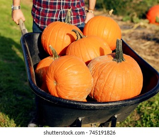 Young man wearing a plaid shirt holding a wheelbarrow with large orange pumpkins.   Halloween and fall concept.