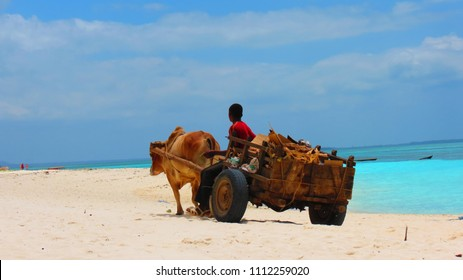 A young man working with his cow and wagon on the white sandy beaches of Zanzibar Tanzania.