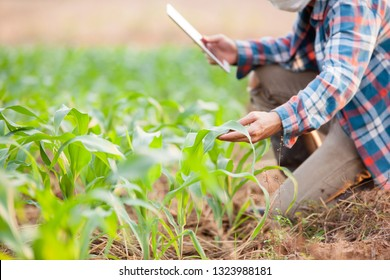 Young man working on tablet and checking corn plants in field. Agribusiness and innovation concept