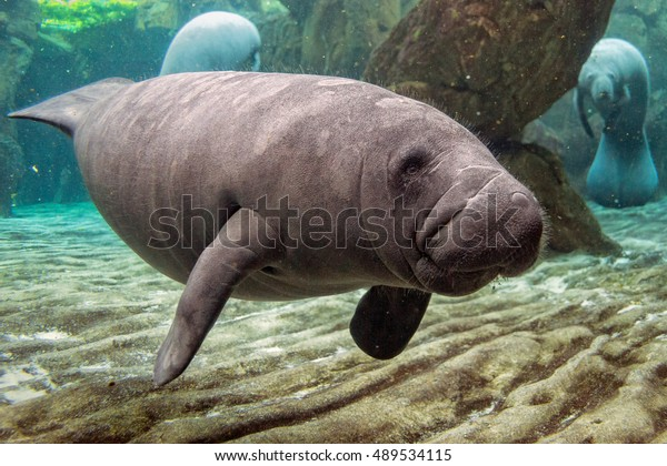 young manatee close up portrait underwater