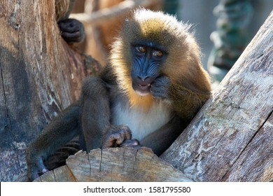 Young mandrill monkey looks curiously at the visitors and photographer