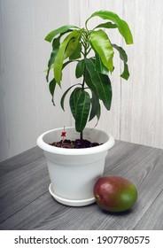 Young mango tree seedling, Mangifera indicia