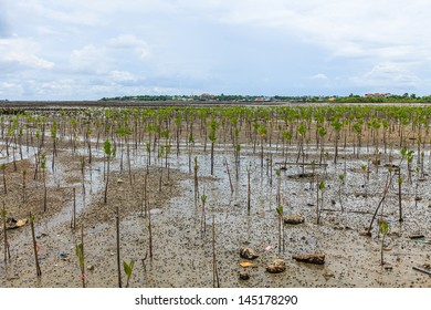 young mangrove forest