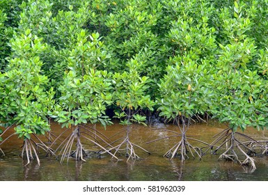 young mangrove forest in row near river
