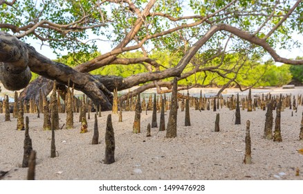Young mangrove shoots in tidal zone of the sea. Small sprouts of mangrove forest covered by sludge. Future mangrove forest on the beach against the background of an old huge tree growing in sea water