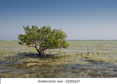 Young mangrove tree (avicenia marina) growing in shallow water with roots visibly sticking out from the surface. Nabq National Park, South Sinai, Egypt.