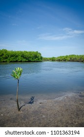 Young mangrove tree growing on muddy shore of mangrove forest of Sine Saloum Delta, Senegal, Africa