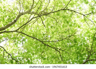 Young maple leaves seen through sunlight